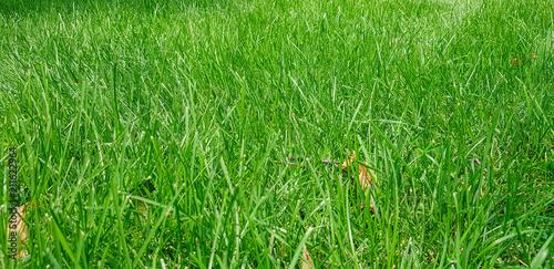 Fotobehang Groene green lawn grass
