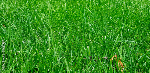 fresh lawn of green grass - 211622987