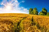 Summer landscape with cornfield and bright sun - 211625992