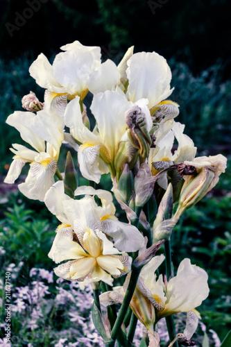 Fotobehang Iris Blooming irises at summer