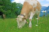 Grasende Kuh auf saftiger Almwiese
