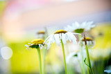White daisies in the meadow, summertime outdoor background