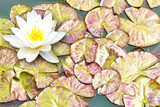 A single water lily with lily pads on a pond