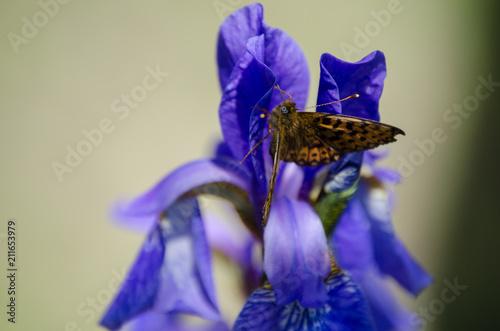 Fotobehang Iris Butterfly on iris flower