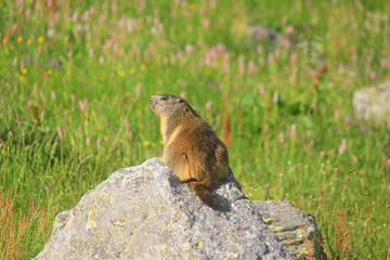 marmot on the stone in mountain
