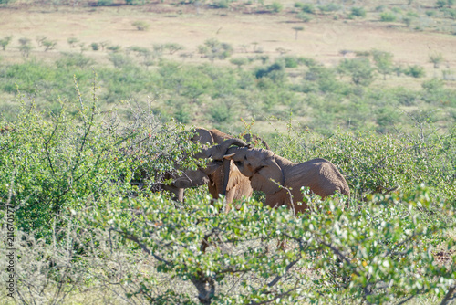 Fototapeta Deserted adapted elephants in bush