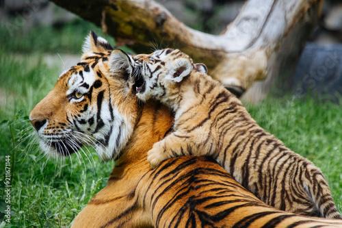 Fototapeta Siberian (Amur) tiger cub playing with mother