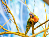 The rainbow lorikeet perch in a tree © pink candy