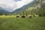 cow eating grass on the mountains in Italy