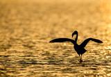 Greater Flamingo during sunrise, Bahrain