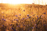 Landscape with wildflowers in the rays of the setting sun