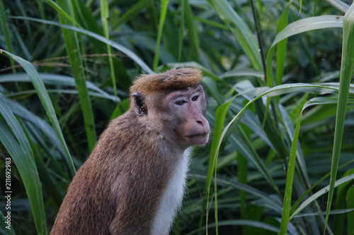 Fotobehang Aap Portrait of a pensive monkey on a background of green leaves