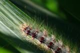 Schwammspinner, Lymantria dispar, Raupe - 211696148