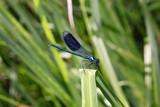 männliche Gebänderte Prachtlibelle (Calopteryx splendens) - 211696341