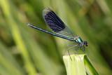 männliche Gebänderte Prachtlibelle (Calopteryx splendens) - 211696369