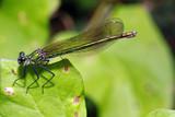 weibliche Gebänderte Prachtlibelle, Calopteryx splendens - 211696562