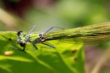 weibliche Gebänderte Prachtlibelle, Calopteryx splendens - 211696586