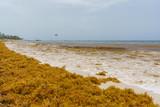 Punta Cana, Dominican Republic - June 24, 2018: : sargassum seaweeds on ocean beach in Bavaro, Punta Cana. Due to global warming, the altered ocean current bring sargasso to Dominican Republic coast. - 211716178