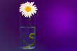 Leinwanddruck Bild - On a purple background a glass with chamomile, on the right is a bright place for the inscription.
