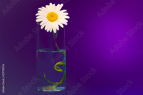 Leinwanddruck Bild On a purple background a glass with chamomile, on the right is a bright place for the inscription.