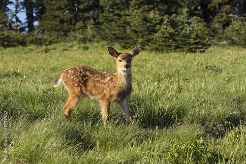 Baby deer stopping to look around - 211719562