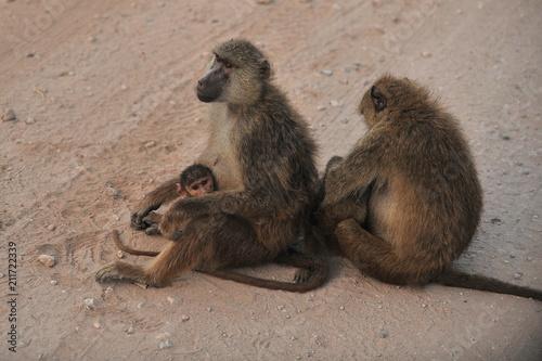 Aluminium Aap The family of monkeys settled on the road in the savannah