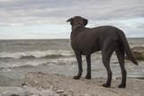 Labrador looks at the sea - 211723396