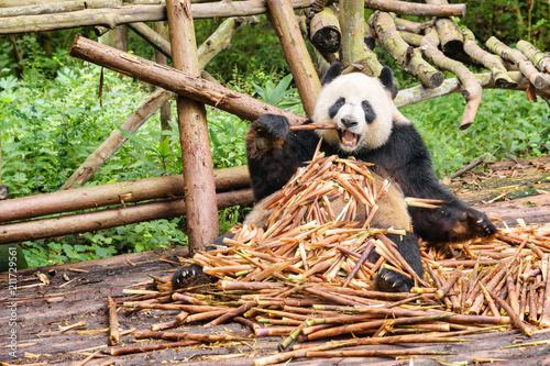 Plexiglas Panda Funny giant panda eating bamboo and looking at the camera