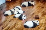 Six giant panda cubs sleeping on wooden floor © efired