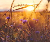 Summer scene with  cornflower in the rays of the setting sun