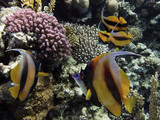 Pennant coralfish, longfin bannerfish, reef bannerfish, coachman - 211736587
