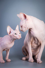 Sphynx Canadian hairless kitten with his daddy on grey background, studio photo.