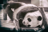 The giant panda (Ailuropoda melanoleuca) - 211750508