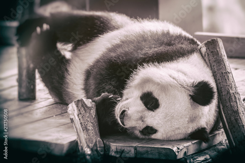 Plexiglas Panda The giant panda (Ailuropoda melanoleuca)