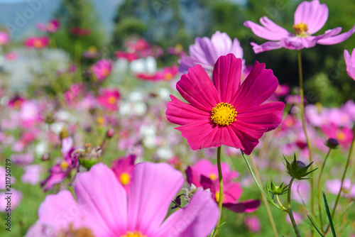 purple cosmos flowers blooming in the garden - 211750789