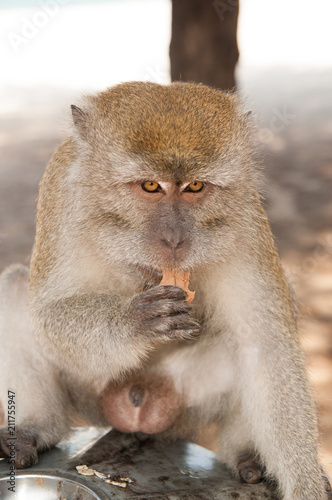 Fotobehang Aap Monkey animal eat food. Primate sit outdoor. Cute animal. Monkey day. Wild nature and wildlife. Zoo