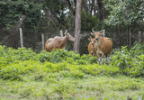 Red wild cows