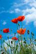 poppy flowers under blue sky and sunlight