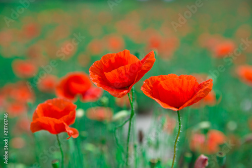 poppy flowers under blue sky and sunlight - 211761746