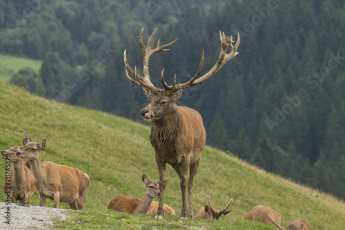 Plakat Deer, Red Deer