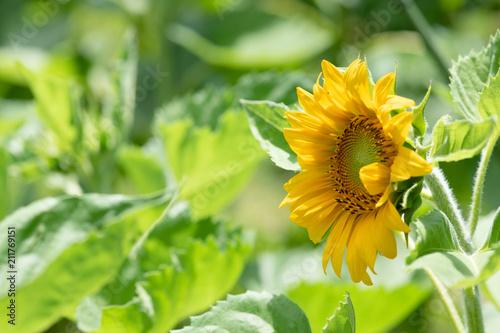 黄色いヒマワリの花