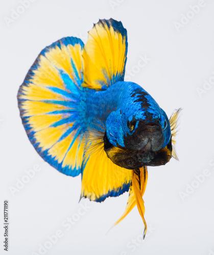 Halfmoon betta fish, siamese fighting fish, Capture moving of fish, Betta splendens - 211771190