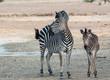 Zebras in der Savanne vom in Simbabwe, Südafrika