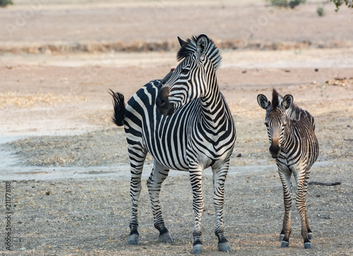 Fototapeta Zebras in der Savanne vom in Simbabwe, Südafrika