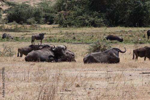 Fotobehang Bison Buffle safari tanzanie
