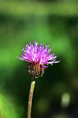 close-up of a purple flower Thistle Cirsium arvense on a soft blurred green background
