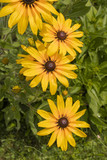 Yellow flowers, large after rain, resembling daisy.