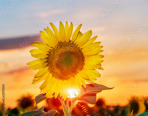 Aluminium Meloen Beautiful sunflowers in the field natural background