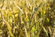 Weizen Ähre Makro