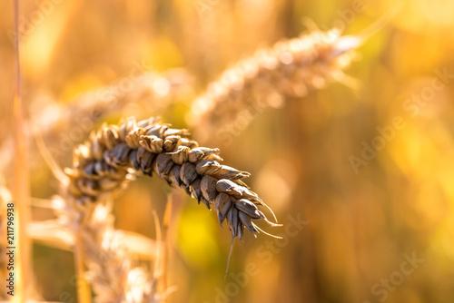 Weizen Ähre Makro - 211796938
